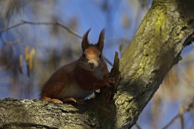 Ecureuil roux (Sciurus vulgaris) photo
