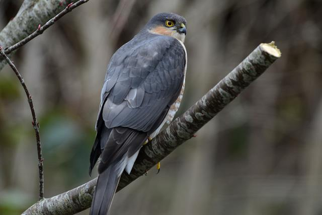 Epervier d´Europe (Accipiter nisus) photo