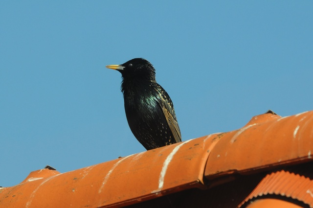 Etourneau sansonnet (Sturnus vulgaris) photo