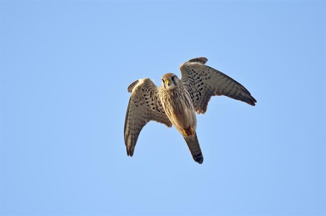 Faucon crécerelle (Falco tinnunculus) photo