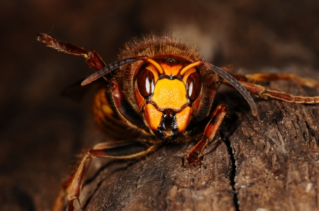 Frelon (Vespa crabro) photo