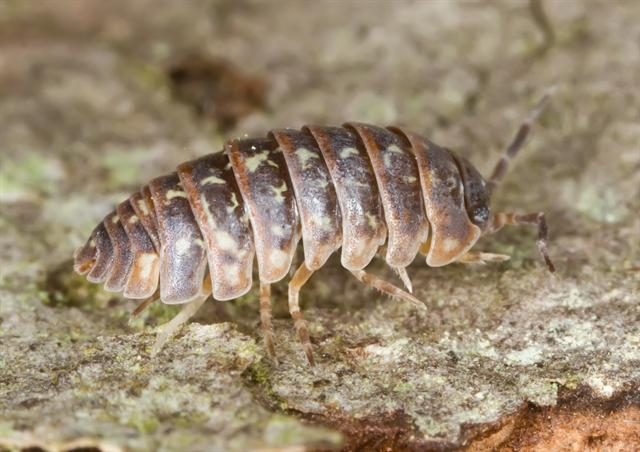 Armadillidium pictum photo