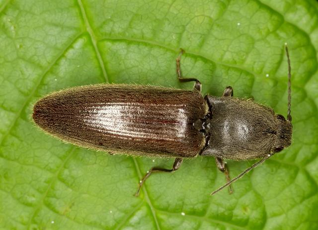 Athous haemorrhoidalis photo