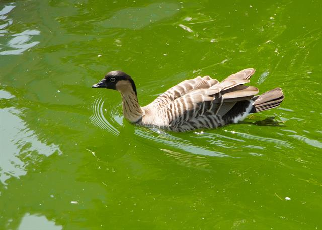 Branta sandvicensis photo