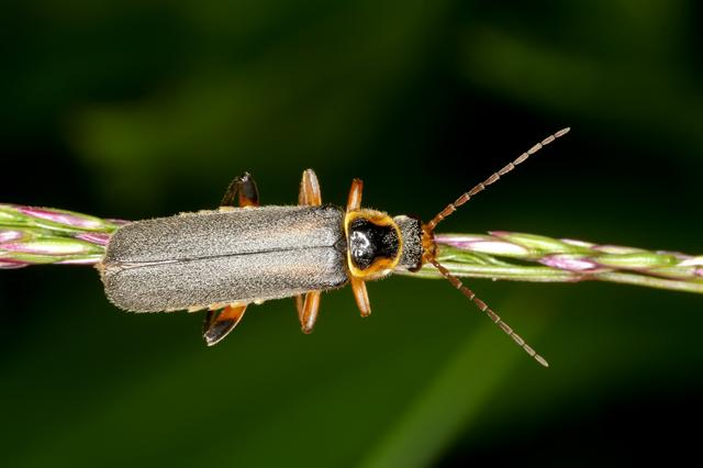 Cantharis nigricans photo