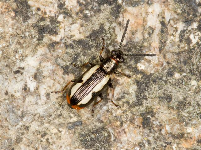 Crioceris macilenta photo