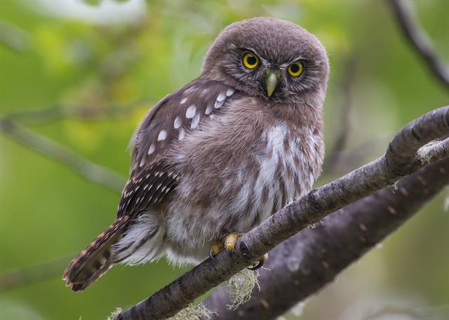 Glaucidium nana photo