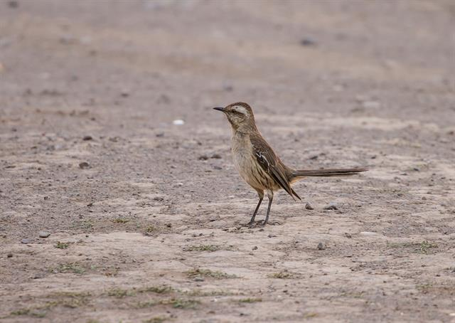 Mimus thenca photo