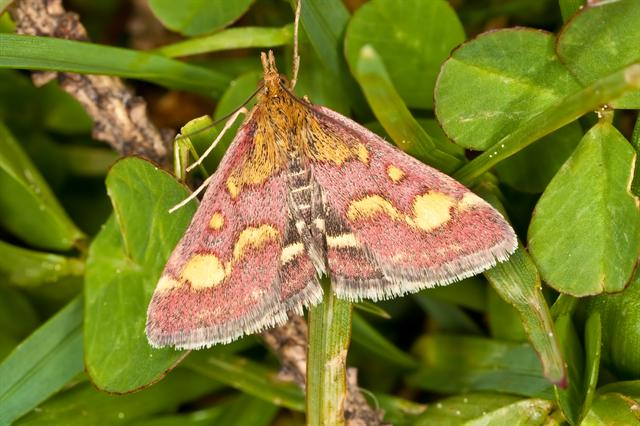 Pyrausta purpuralis photo