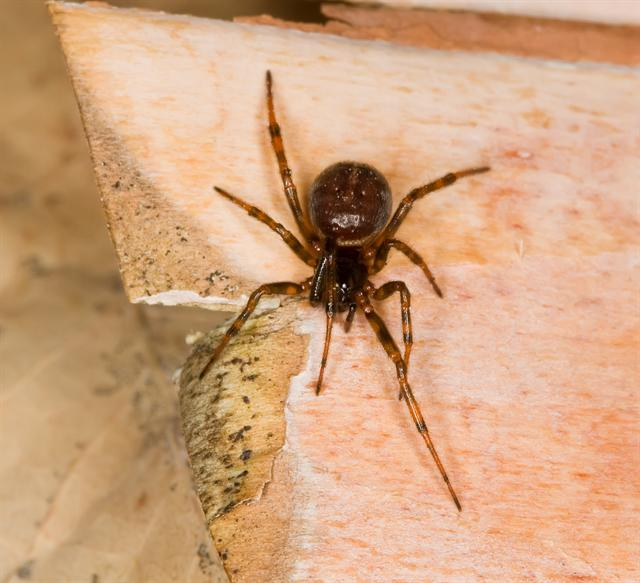 Steatoda bipunctata photo