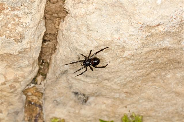 Steatoda paykulliana photo