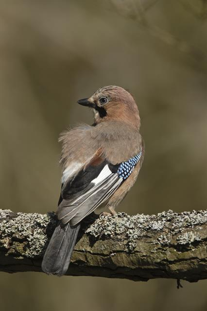 Geai des chênes (Garrulus glandarius) photo