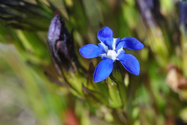 gentiane des neiges (Gentiana nivalis) photo
