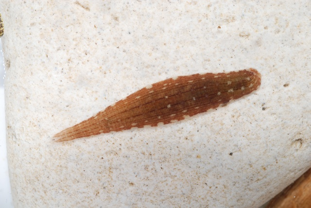 Glossiphonia complanata photo