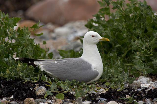 Goéland cendré (Larus canus) photo
