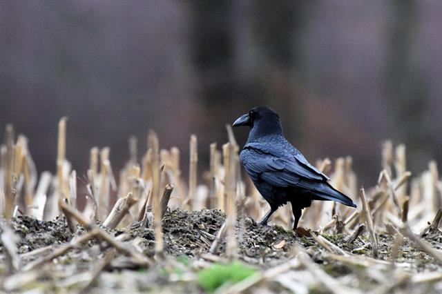Grand Corbeau (Corvus corax) photo