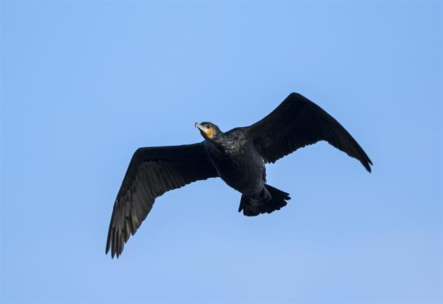 Grand Cormoran (Phalacrocorax carbo) photo