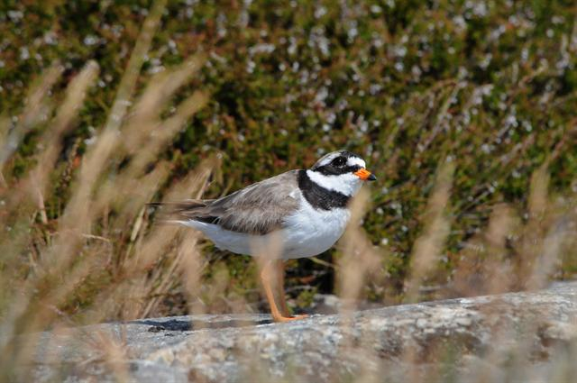 Grand Gravelot (Charadrius hiaticula) photo