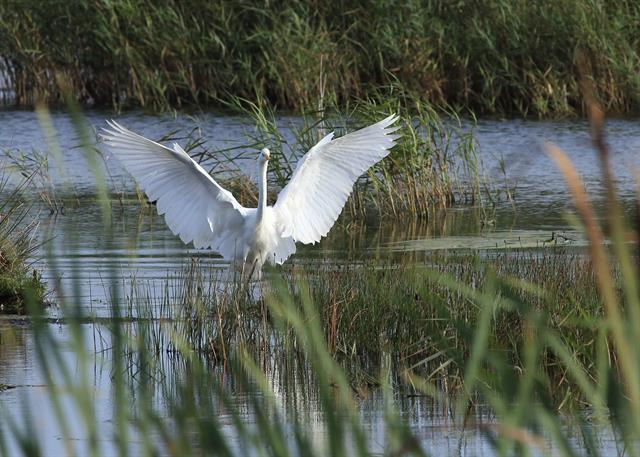 Grande Aigrette (Ardea alba) photo