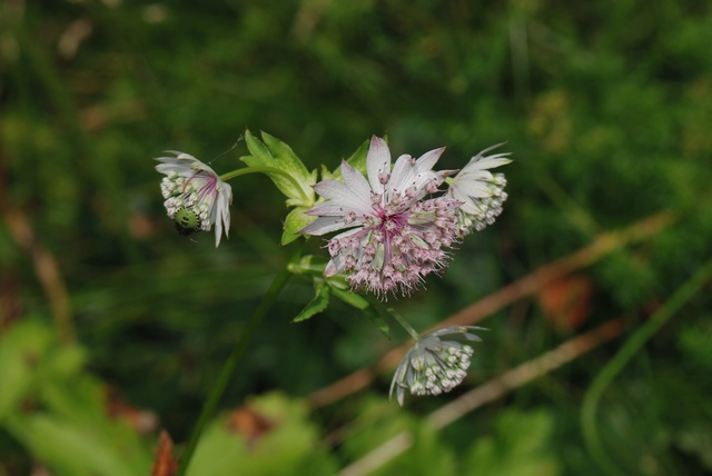 Grande astrance (Astrantia major) photo