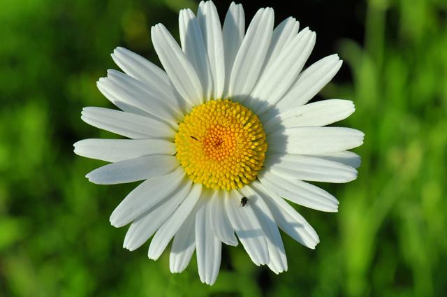Grande marguerite (Leucanthemum vulgare) photo