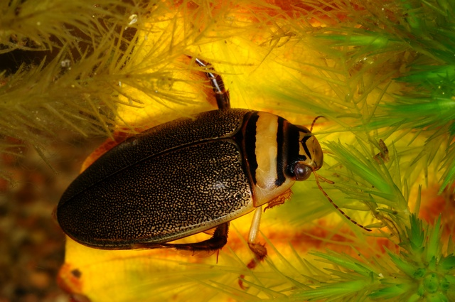 Graphoderus zonatus photo