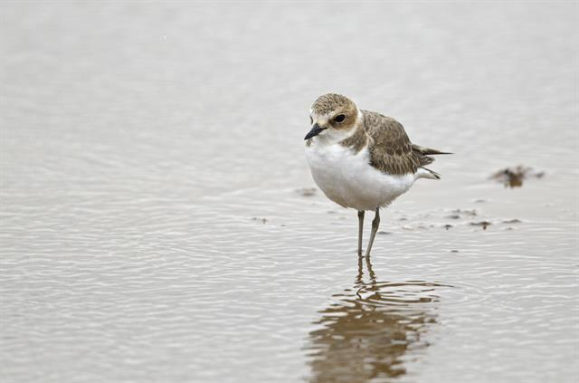 Gravelot à collier interrompu (Charadrius alexandrinus) photo