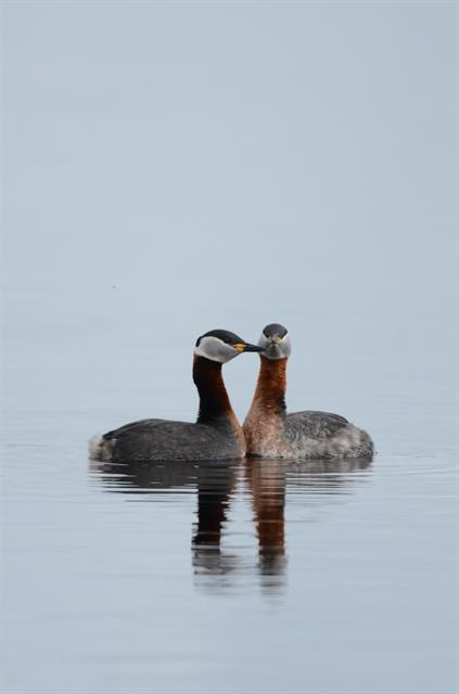 Grèbe jougris (Podiceps grisegena) photo