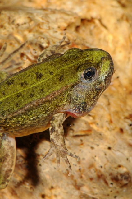 Grenouille comestible, Grenouille verte (Rana esculenta) photo
