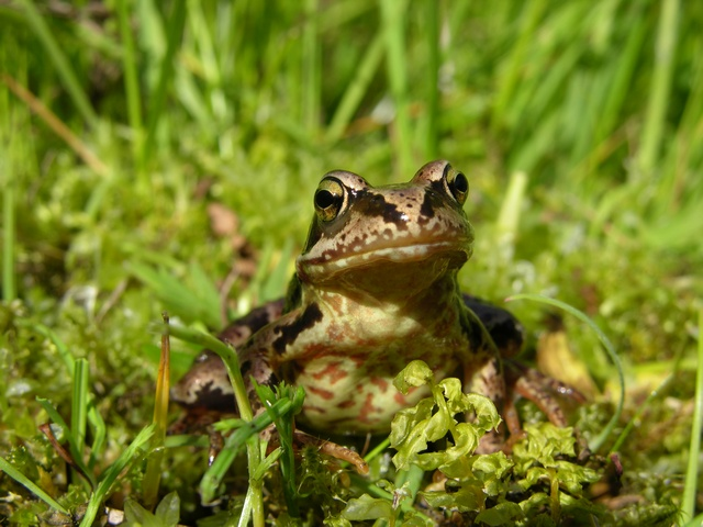 Grenouille rousse (Rana temporaria) photo