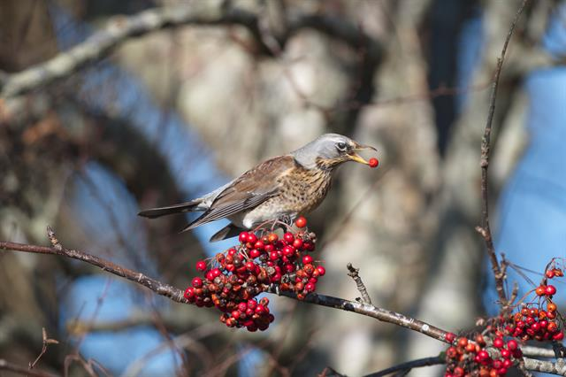 Grive litorne (Turdus pilaris) photo
