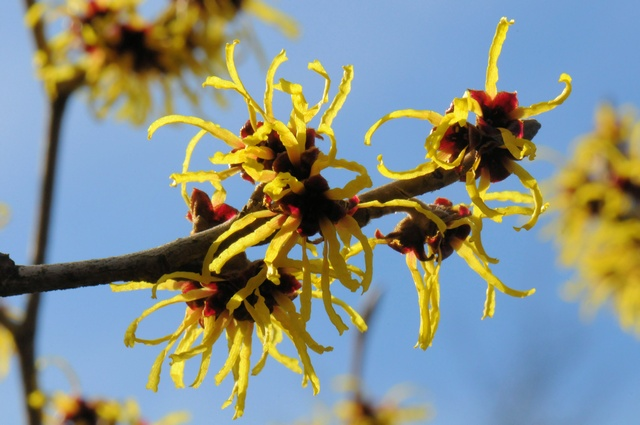 Hamamélis de Chine (Hamamelis mollis) photo