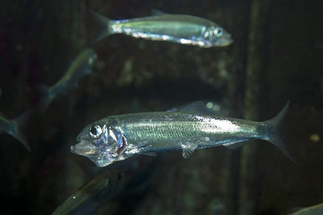 Hareng (Clupea harengus) photo