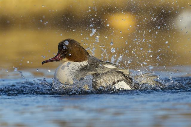 Harle bièvre (Mergus merganser) photo