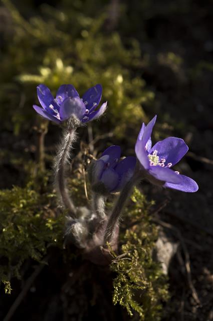 Hépatique (à trois lobes), Anémone hépatique (Hepatica nobilis) photo