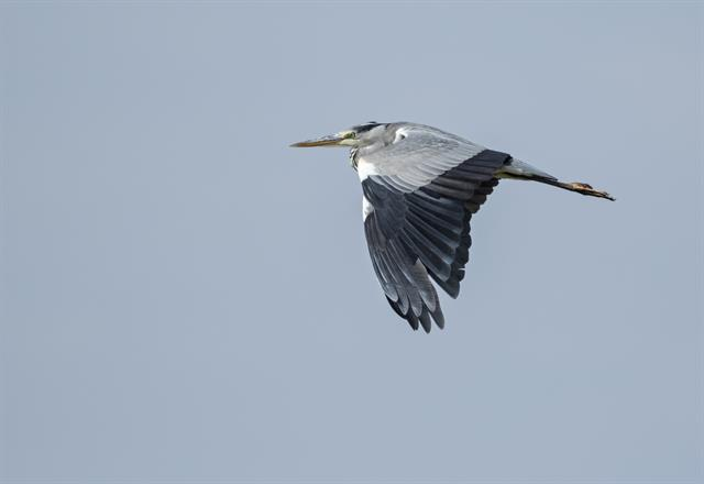 Héron cendré (Ardea cinerea) photo