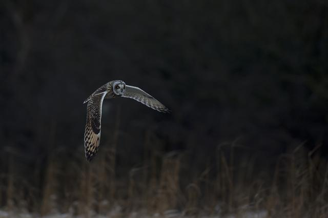 Hibou des marais (Asio flammeus) photo