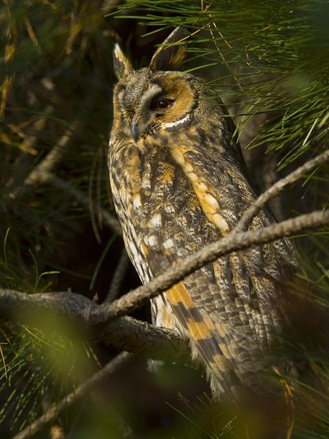 Hibou moyen-duc (Asio otus) photo