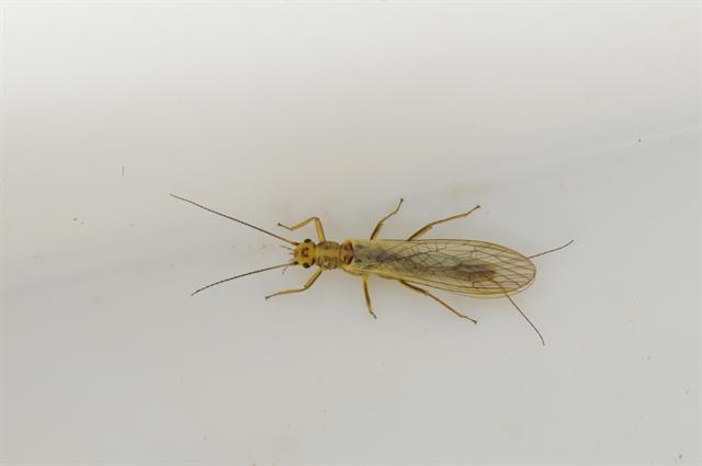 Isoperla difformis photo
