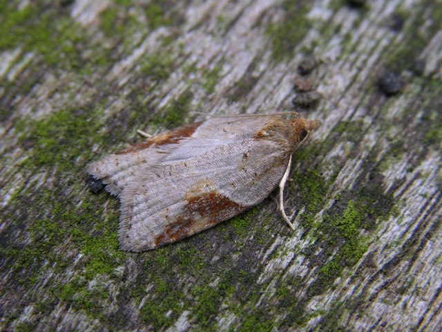Acleris laterana photo