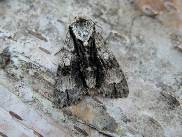 Acronicta alni photo
