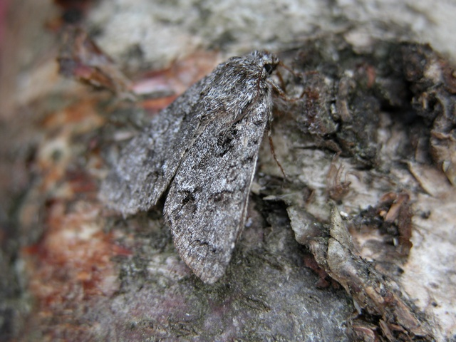 Acronicta menyanthidis photo
