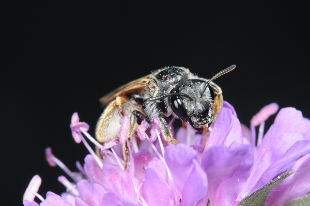 Andrena hattorfiana photo