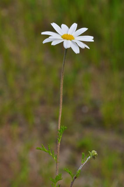Anthémis fausse camomille (Anthemis arvensis)