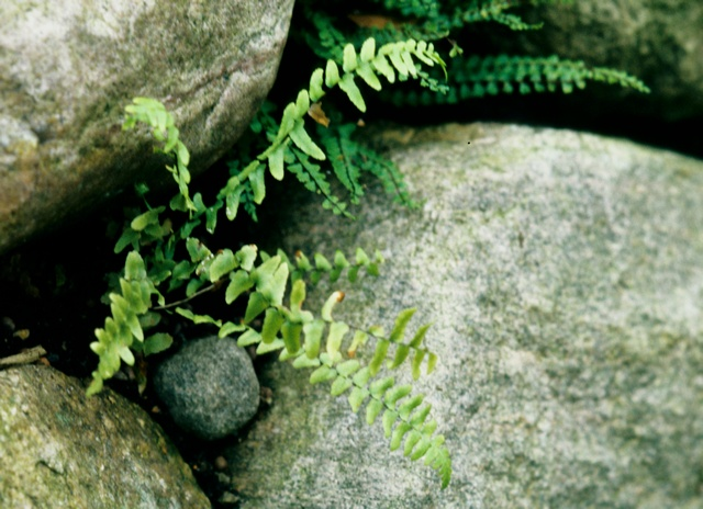 Asplenium platyneuron photo