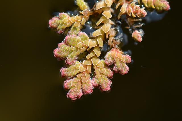 Azolla filiculoides photo