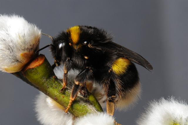 Bombus cryptarum photo