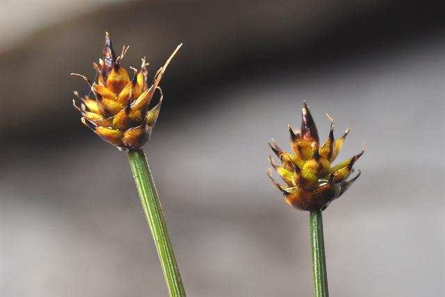 Carex arctogena photo