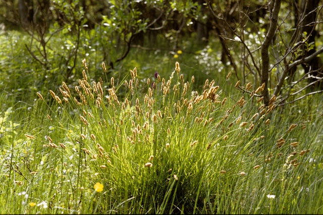 Carex paniculata photo
