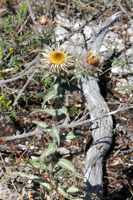 Carlina vulgaris ssp. longifolia photo